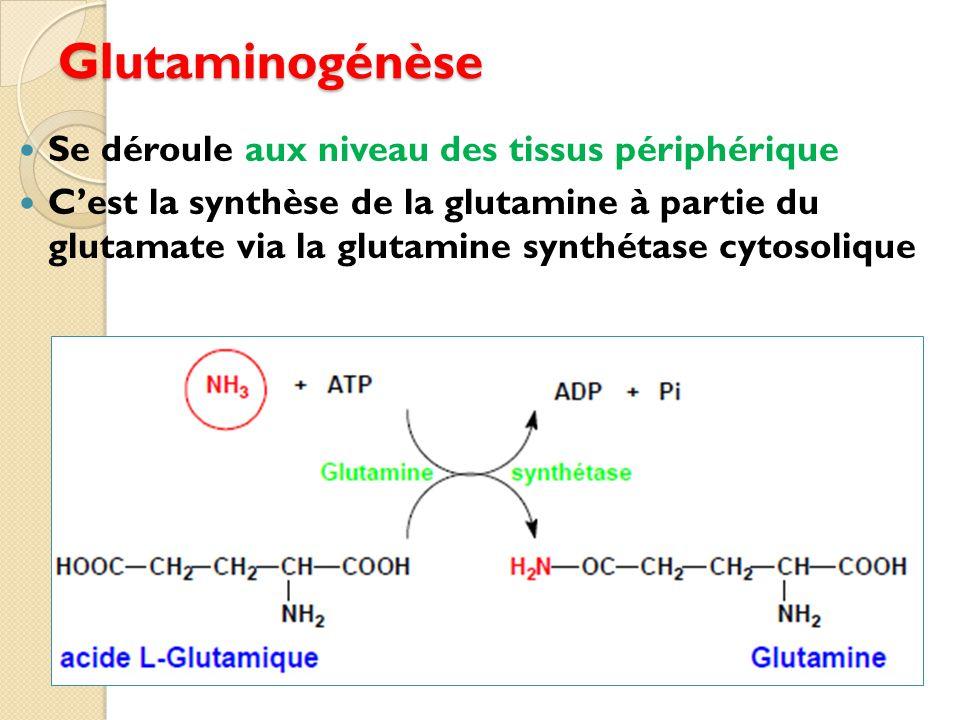 Glutaminogénèse Se déroule aux niveau des tissus périphérique