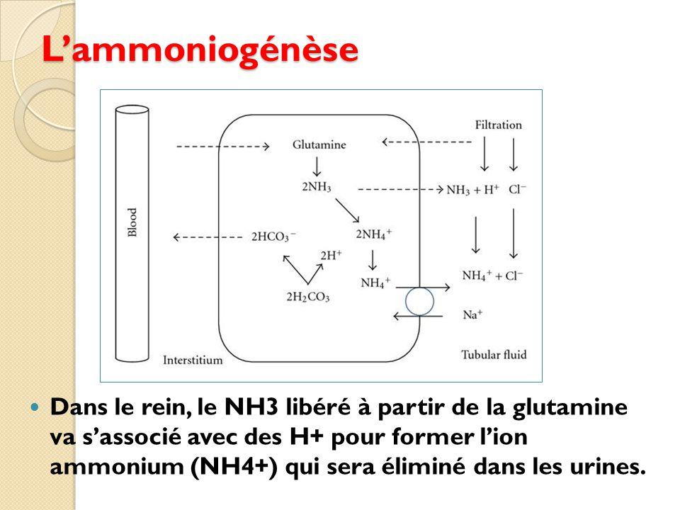 L'ammoniogénèse