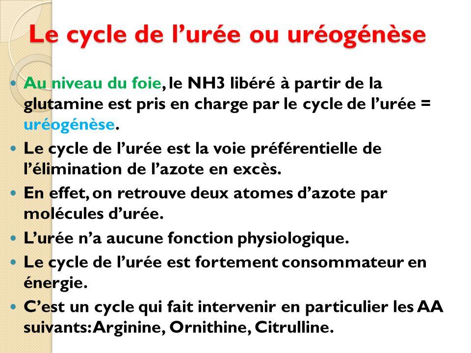 Le cycle de l'urée ou uréogénèse