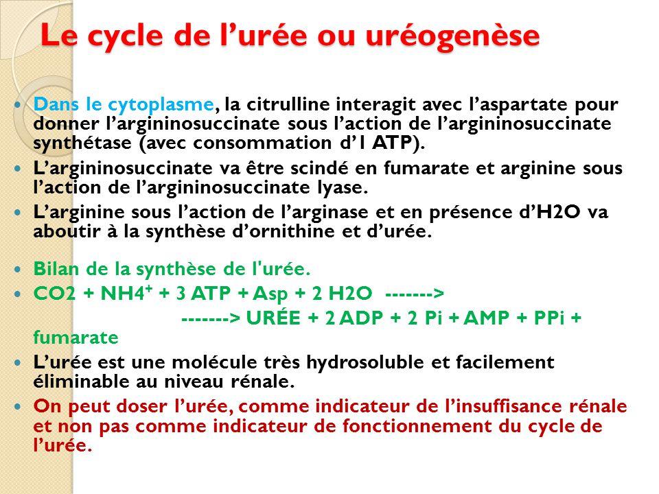 Le cycle de l'urée ou uréogenèse