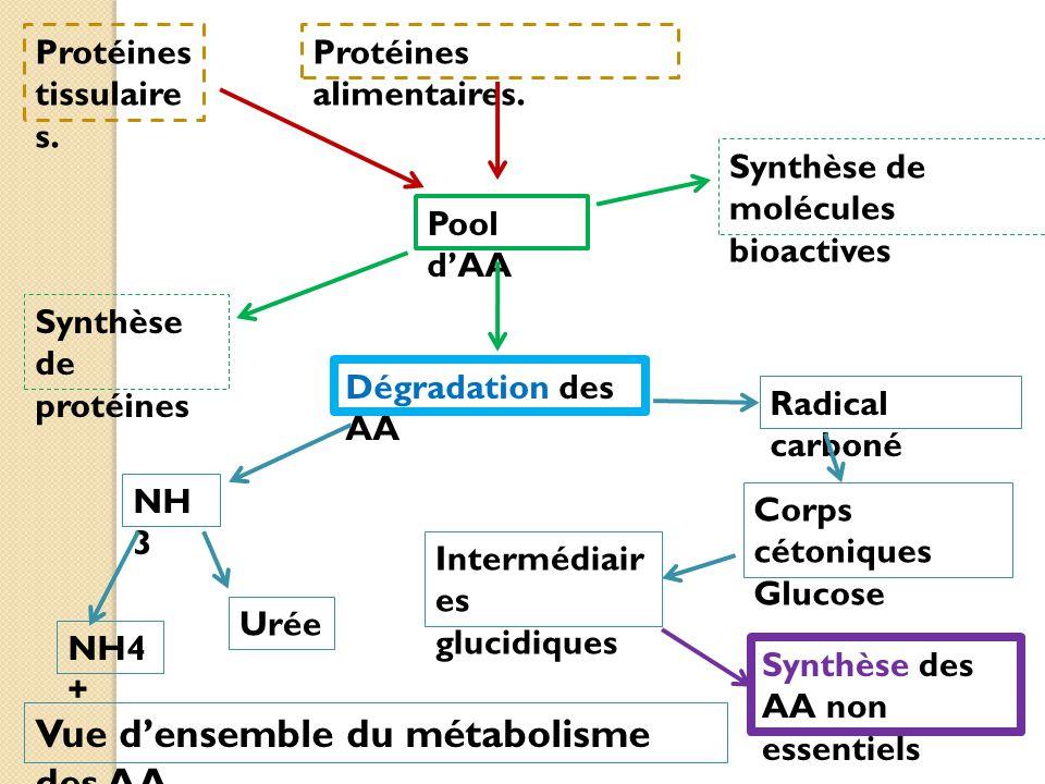 Vue d'ensemble du métabolisme des AA