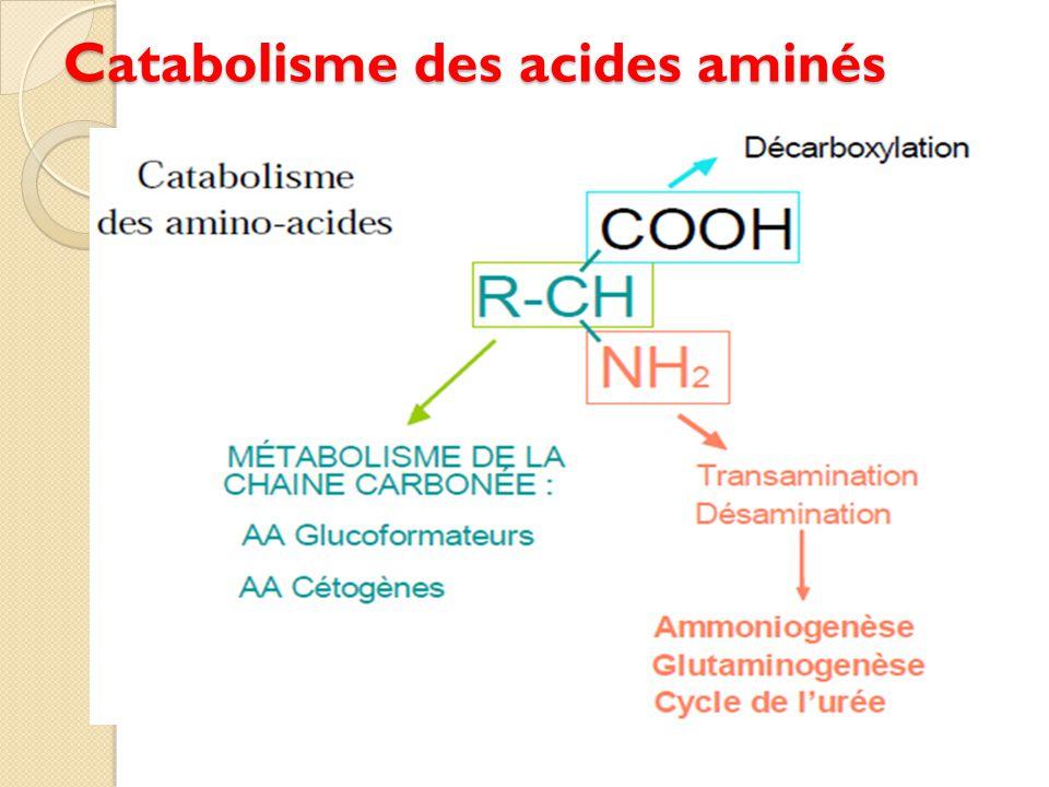 Catabolisme des acides aminés