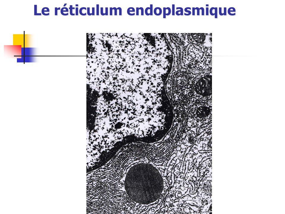 Le réticulum endoplasmique
