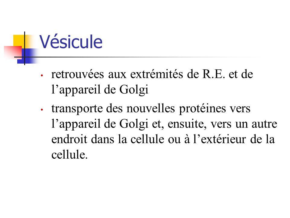 Vésicule retrouvées aux extrémités de R.E. et de l'appareil de Golgi