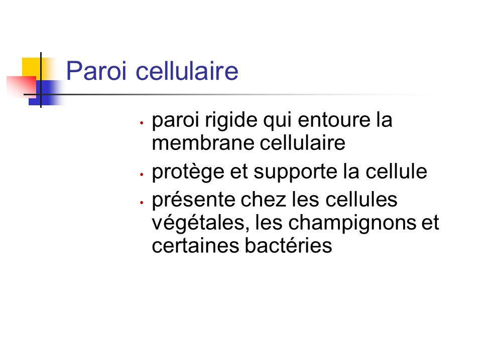 Paroi cellulaire paroi rigide qui entoure la membrane cellulaire