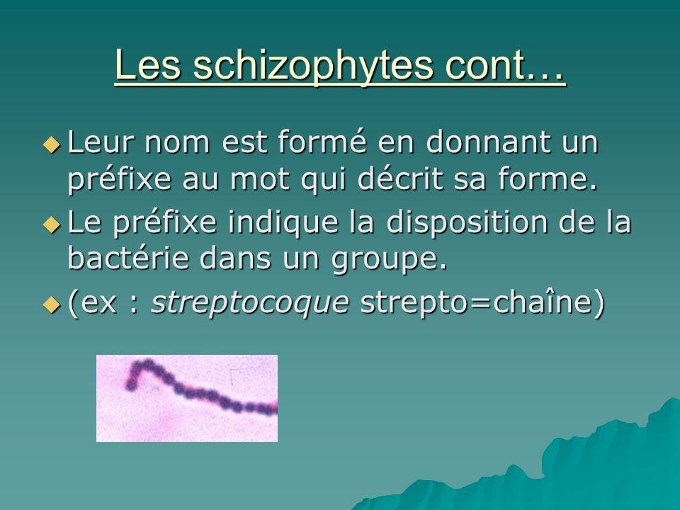 Les schizophytes cont…