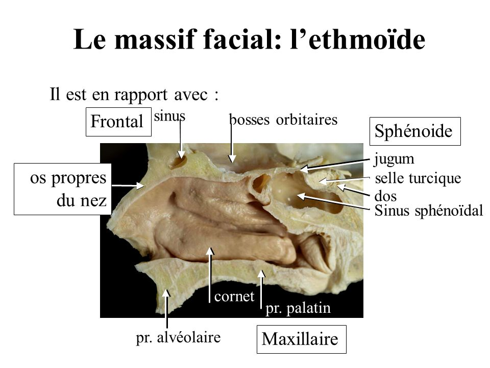 Le massif facial: l'ethmoïde