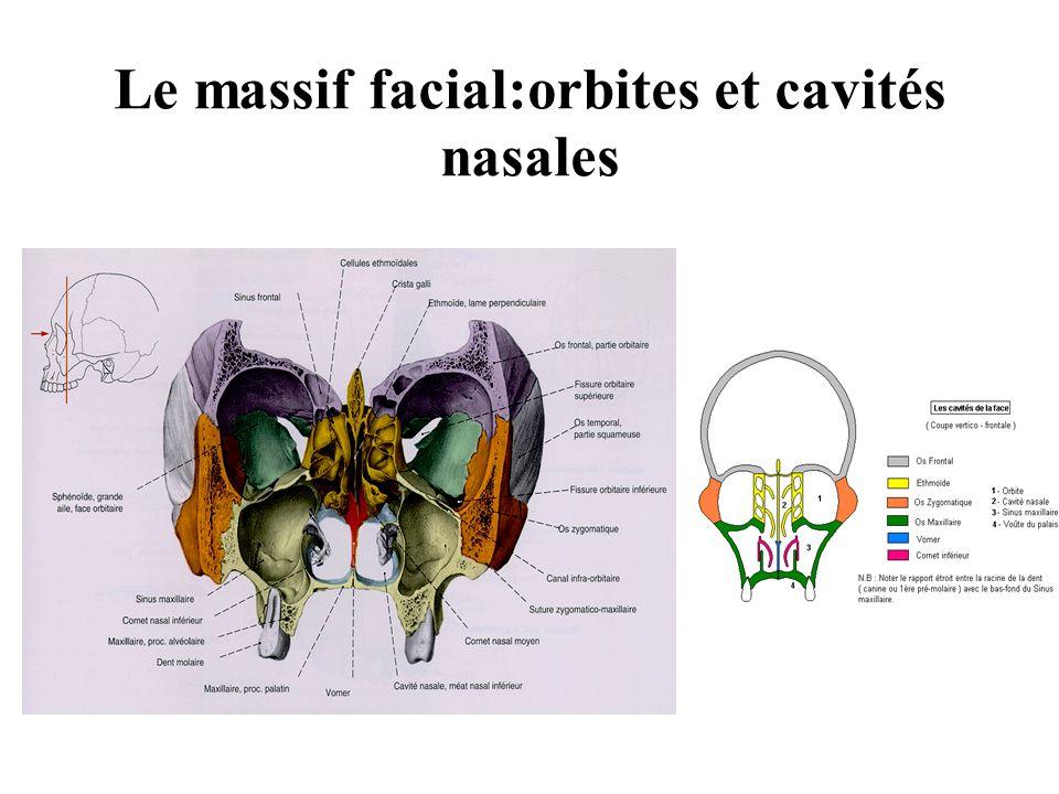 Le massif facial:orbites et cavités nasales