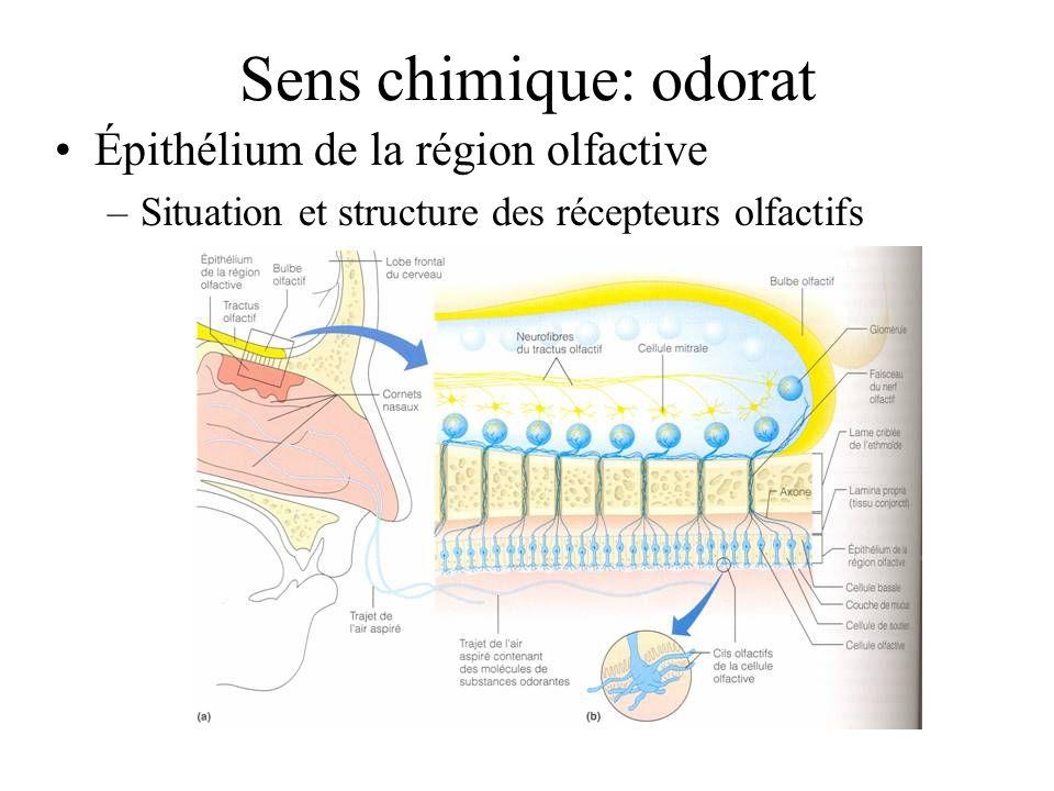 Sens chimique: odorat Épithélium de la région olfactive