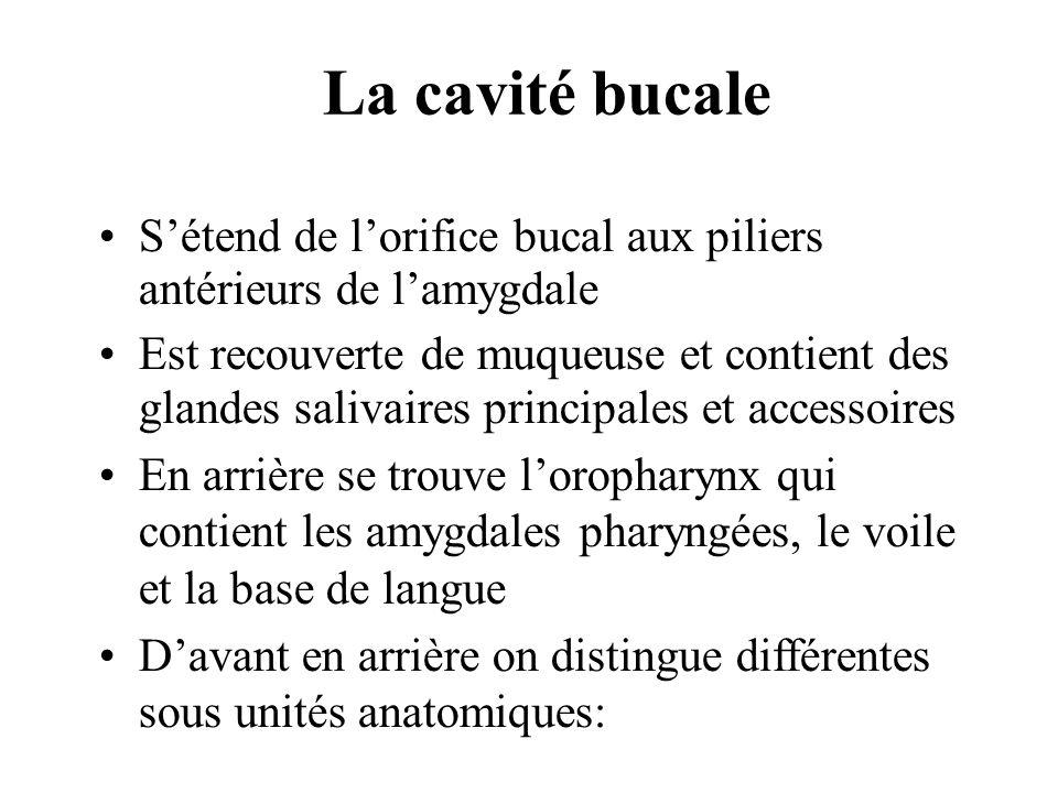 La cavité bucale S'étend de l'orifice bucal aux piliers antérieurs de l'amygdale.