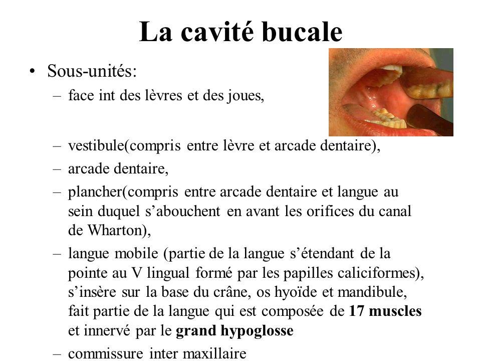La cavité bucale Sous-unités: face int des lèvres et des joues,
