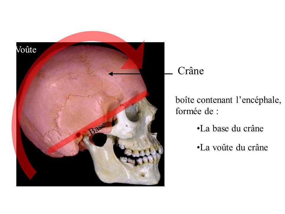 Crâne Voûte boîte contenant l'encéphale, formée de : Base