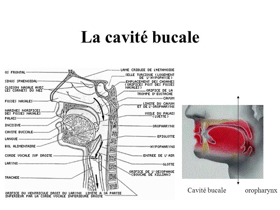 La cavité bucale Cavité bucale oropharynx