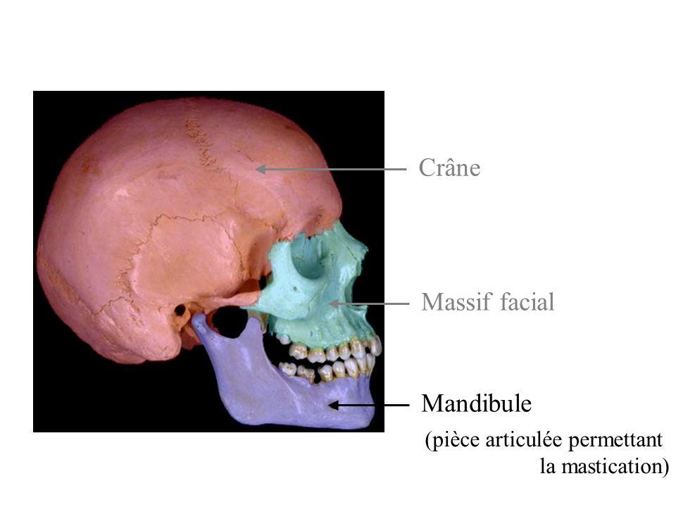 Crâne Massif facial Mandibule (pièce articulée permettant