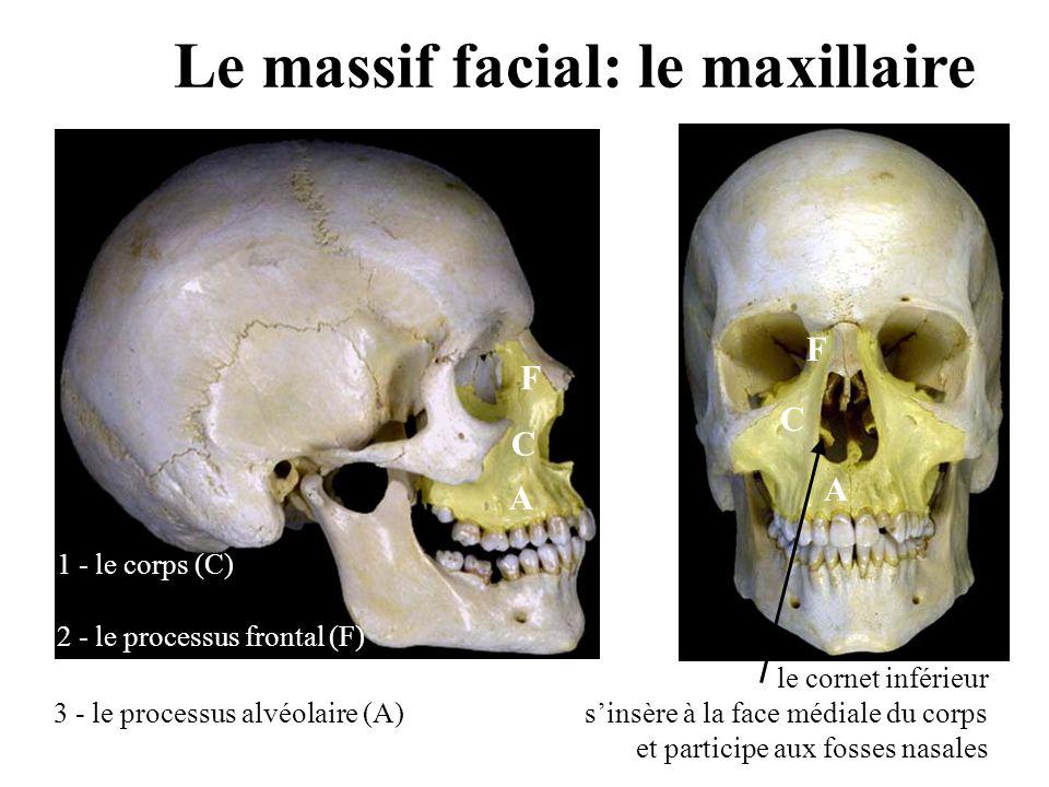 Le massif facial: le maxillaire
