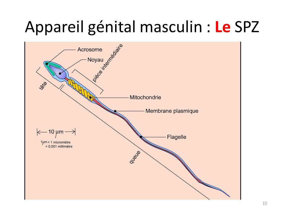 Appareil génital masculin : Le SPZ