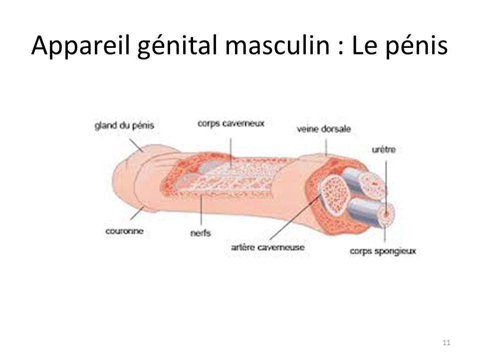Appareil génital masculin : Le pénis
