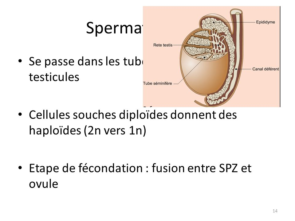 Spermatogenèse Se passe dans les tubes séminifères des testicules
