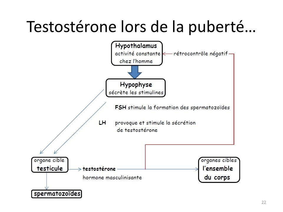 Testostérone lors de la puberté…