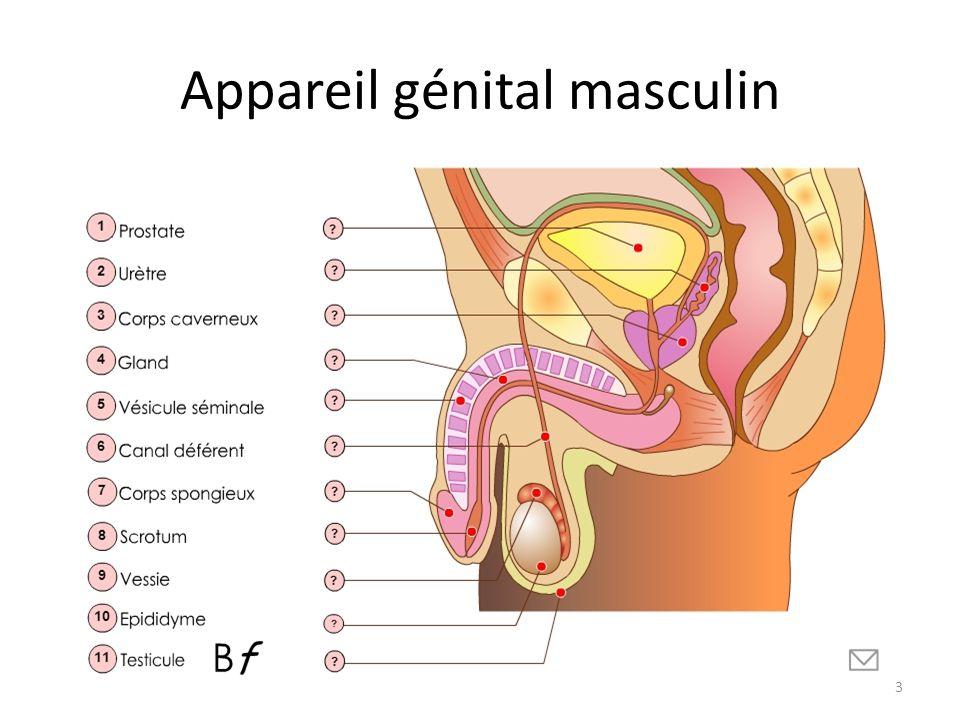 Appareil génital masculin