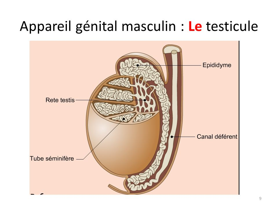 Appareil génital masculin : Le testicule