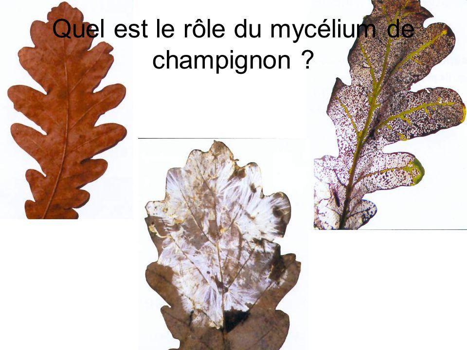 Quel est le rôle du mycélium de champignon