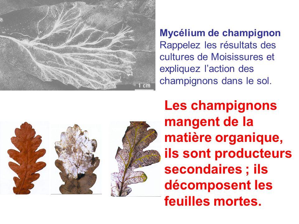 Mycélium de champignon