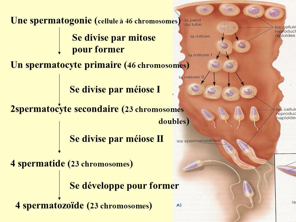 Une spermatogonie (cellule à 46 chromosomes)