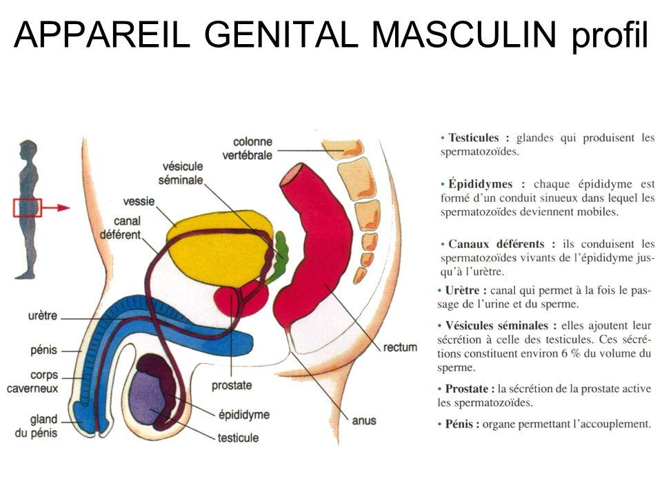 APPAREIL GENITAL MASCULIN profil