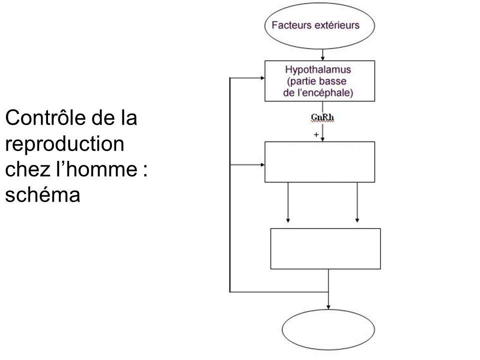 Contrôle de la reproduction chez l'homme : schéma muet