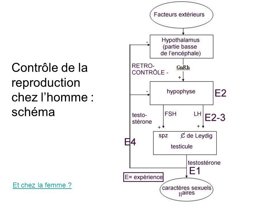 Contrôle de la reproduction chez l'homme : schéma