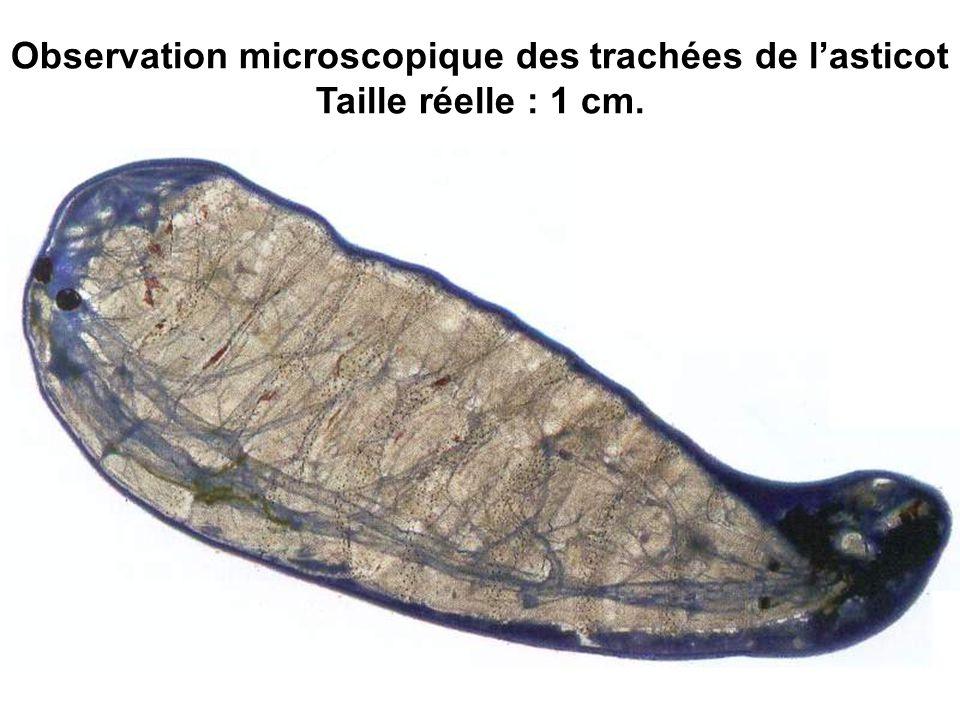 Observation microscopique des trachées de l'asticot