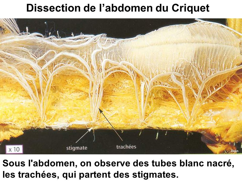 Dissection de l'abdomen du Criquet