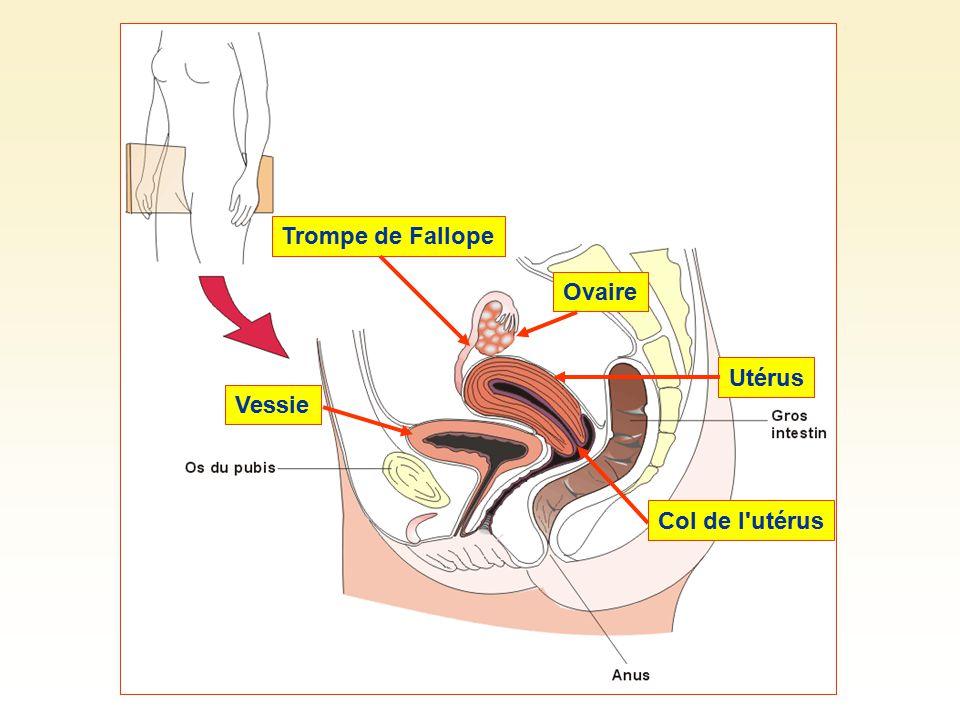 Trompe de Fallope Ovaire Utérus Col de l utérus Vessie