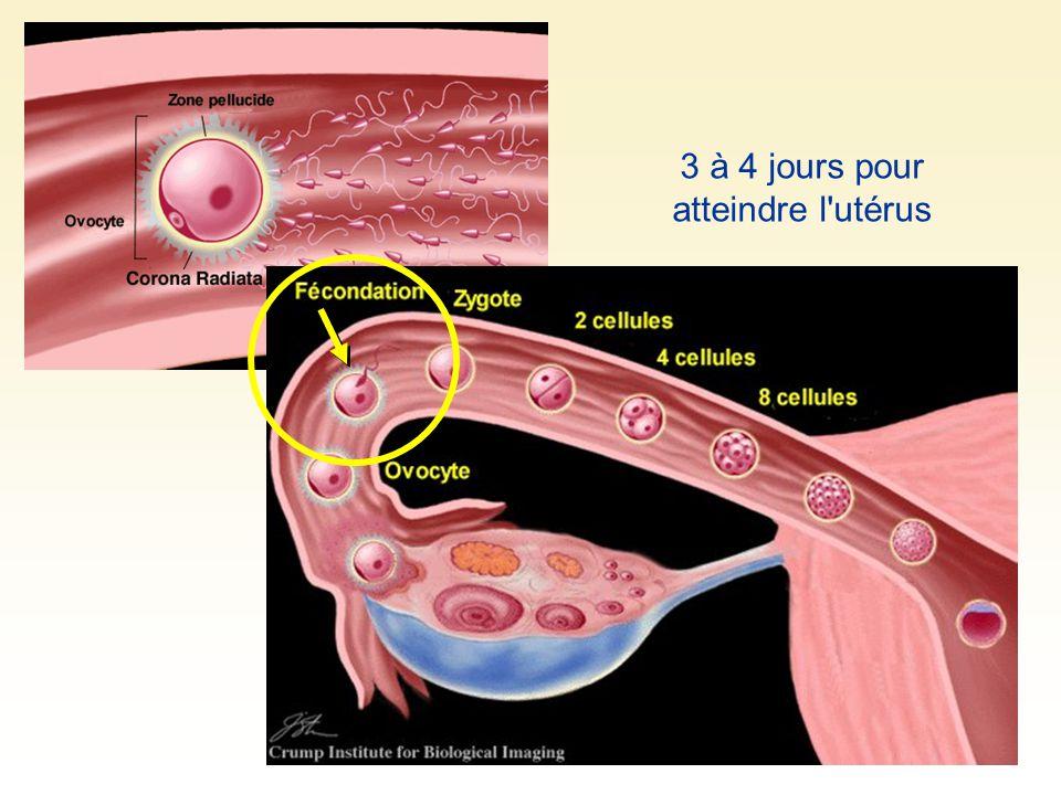 3 à 4 jours pour atteindre l utérus