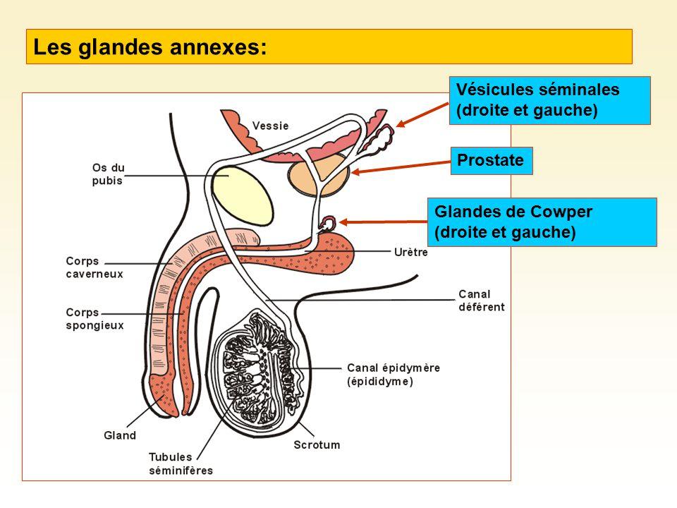 Les glandes annexes: Vésicules séminales (droite et gauche) Prostate