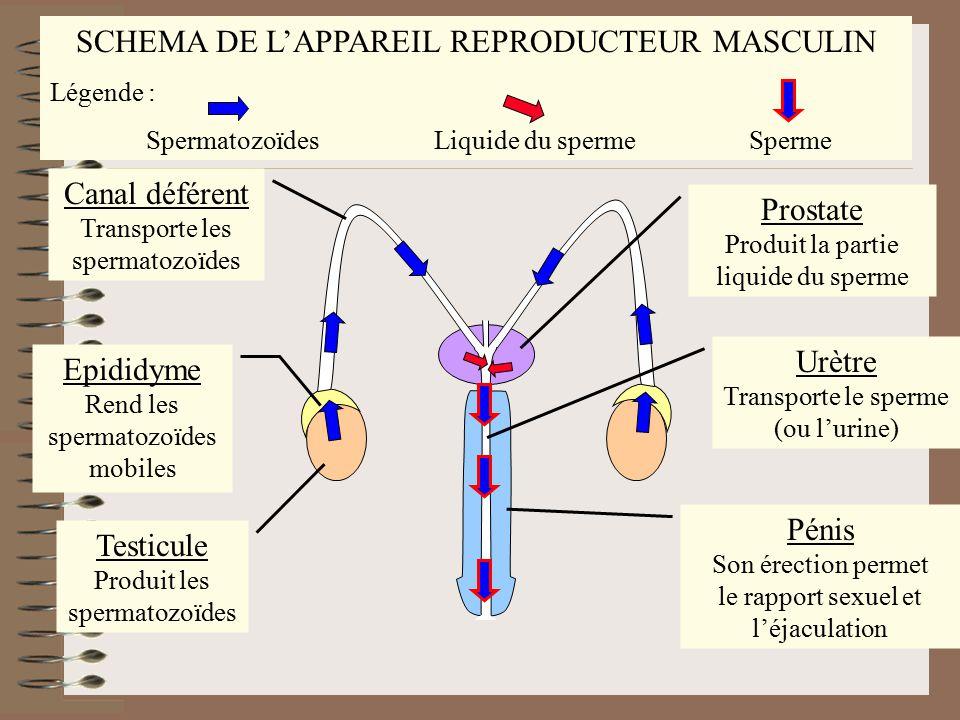 SCHEMA DE L'APPAREIL REPRODUCTEUR MASCULIN