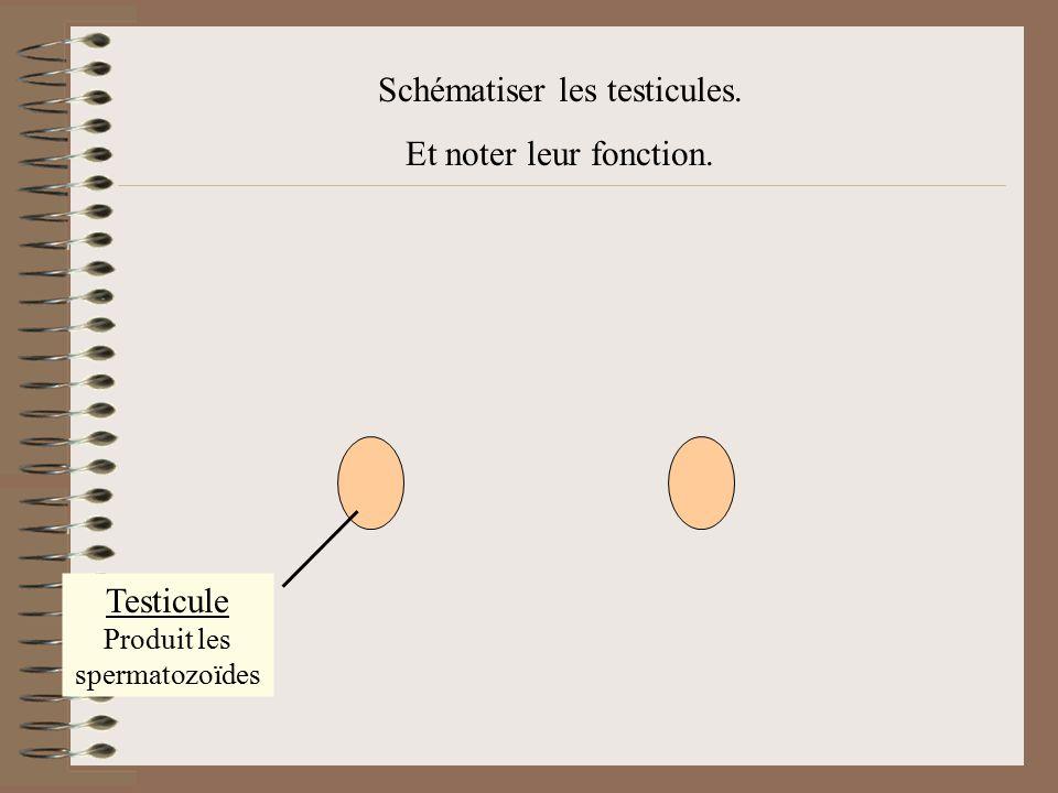 Schématiser les testicules. Et noter leur fonction.
