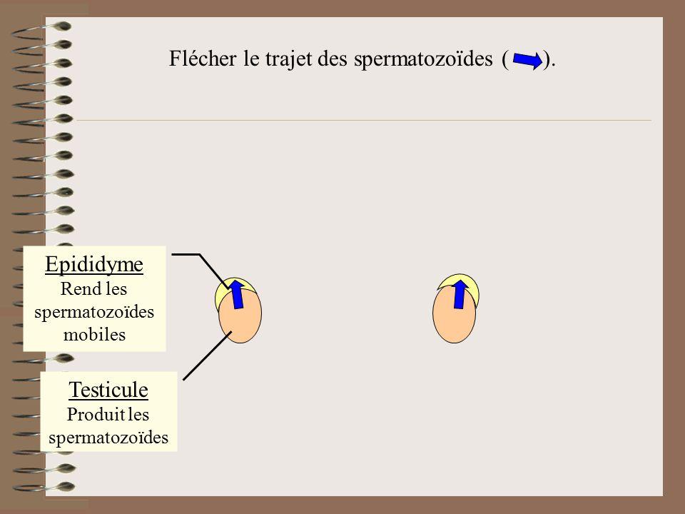 Flécher le trajet des spermatozoïdes ( ).