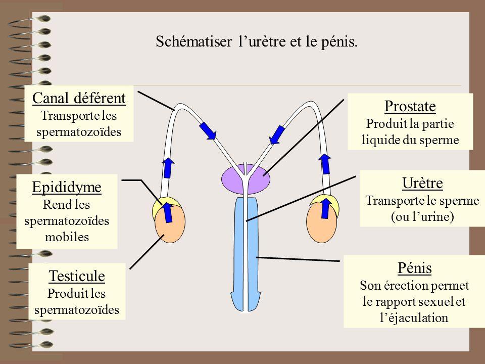 Schématiser l'urètre et le pénis.