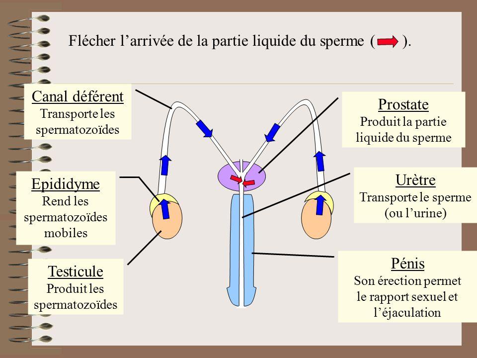 Flécher l'arrivée de la partie liquide du sperme ( ).