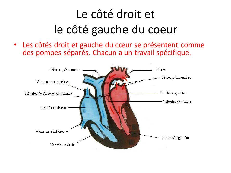 Le côté droit et le côté gauche du coeur