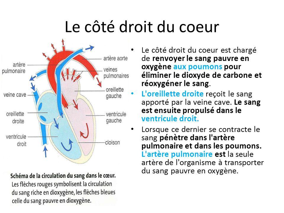 Le côté droit du coeur