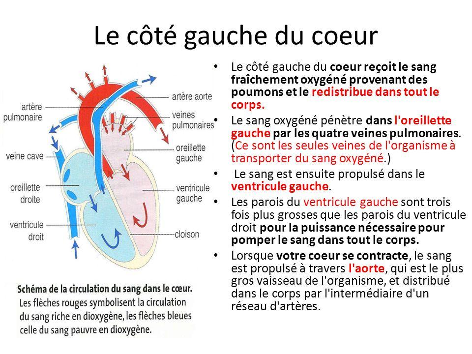 Le côté gauche du coeur Le côté gauche du coeur reçoit le sang fraîchement oxygéné provenant des poumons et le redistribue dans tout le corps.