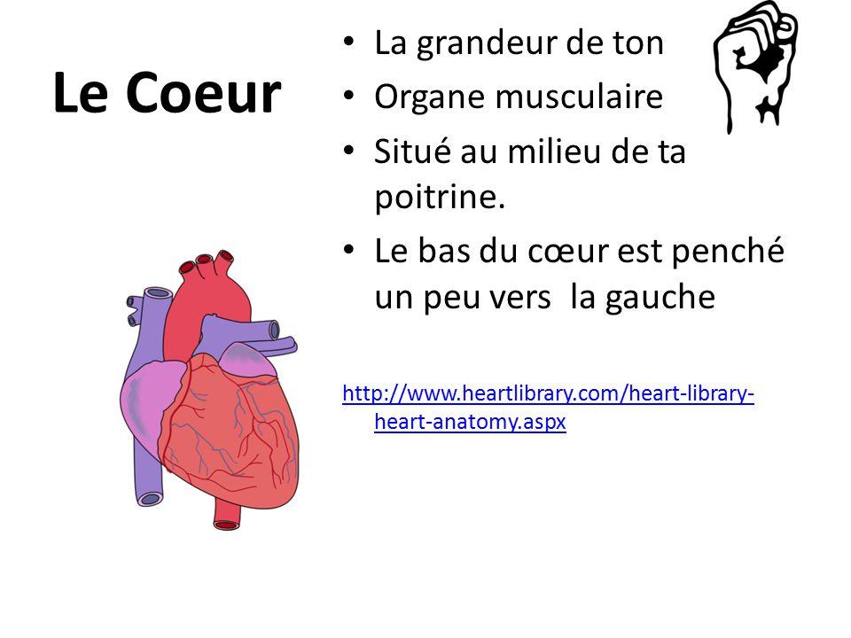 Le Coeur La grandeur de ton Organe musculaire