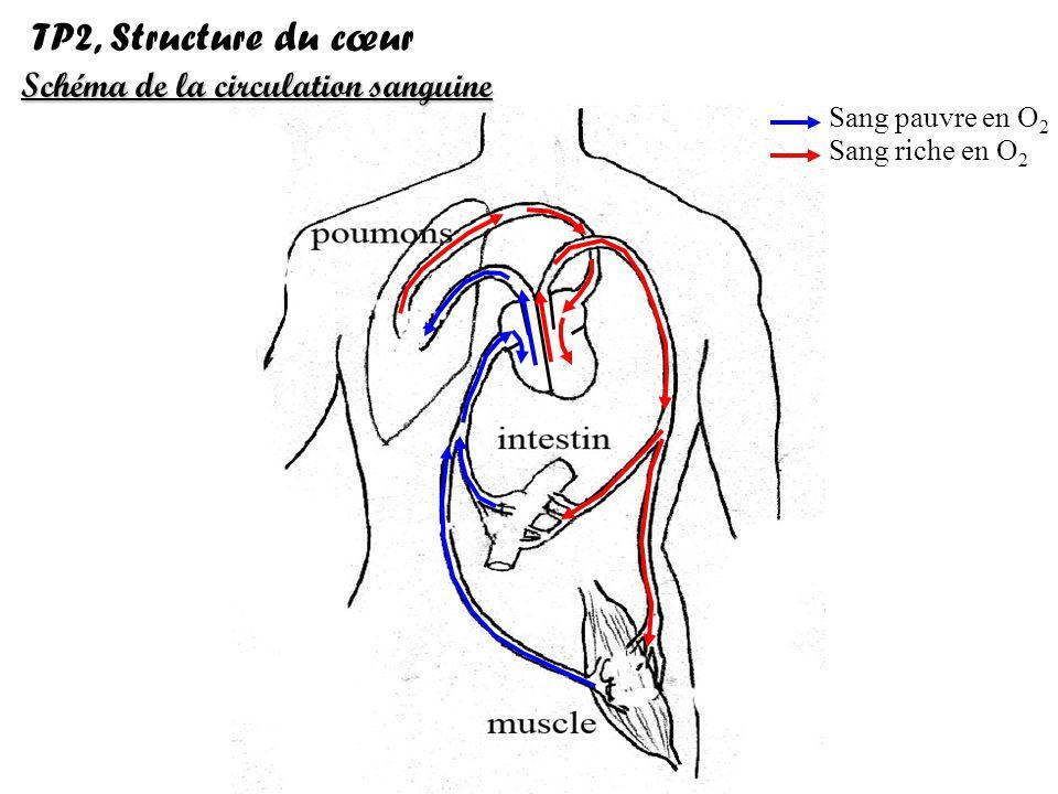 TP2, Structure du cœur Schéma de la circulation sanguine