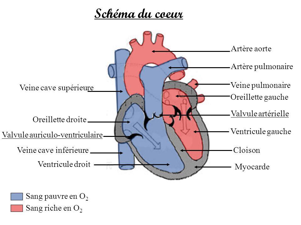Schéma du coeur Artère aorte Artère pulmonaire Veine pulmonaire