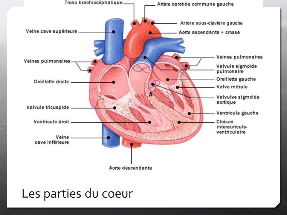 Les parties du coeur