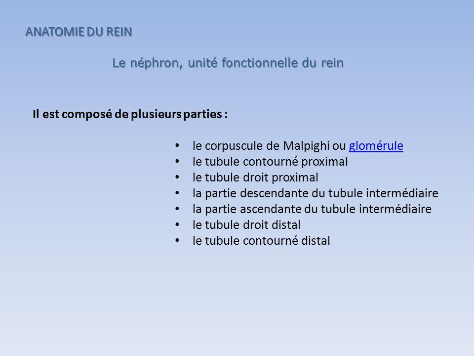 Le néphron, unité fonctionnelle du rein