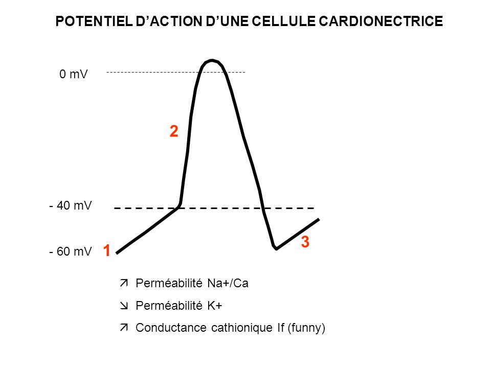 POTENTIEL D'ACTION D'UNE CELLULE CARDIONECTRICE